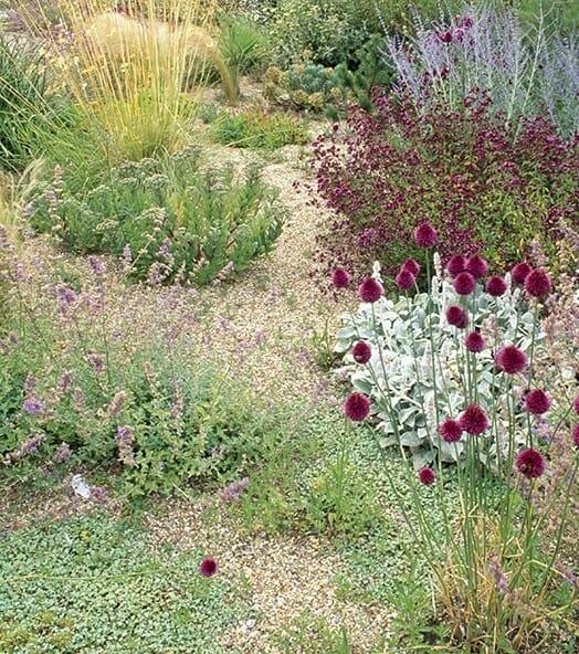 Allium Scorodoprasums